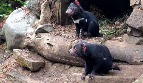 Tasmanian Devil Unzoo.塔斯曼尼亞自由行